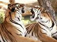 老虎图片大全 让你大饱眼福 老虎图片展示 _动物