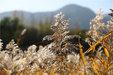 野外风景芦花美走在野外欣赏美景_植物与风景