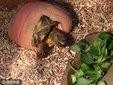 英乌龟被狗咬残 用乐高玩具轮获新生_猎奇图片