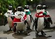 日本企鹅圣诞游行 大摇大摆萌翻天_猎奇图片