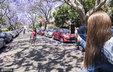 悉尼蓝花楹树绽放紫色花朵 吸引民众_猎奇图片