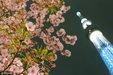 日本晴空塔下樱花绽放 缤纷烂漫惹人醉_猎奇图片