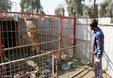 伊拉克因战废弃动物园 狮子饿成皮包骨_猎奇图片