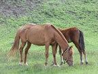 拍摄美丽大草原的骏马吃草-植物与风景