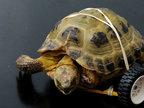 英乌龟被狗咬残 用乐高玩具轮获新生-猎奇图片