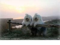 『动物摄影』 Cees Bol:古牧姐妹花的幸福生活
