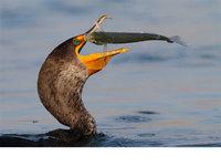 『摄影师』Salah Baazizi:鸟类捕食惊险瞬间