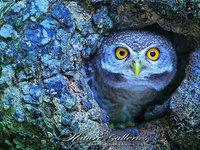 【动物摄影】Sasi Smith:可爱猫头鹰