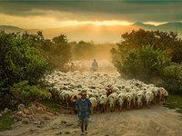 将草原上的羊群拍出时尚大片范