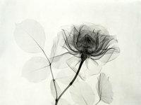 X射线下的花卉摄影