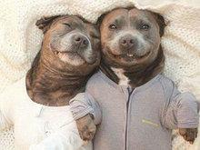 英国两小狗对浴袍情有独钟憨萌可爱