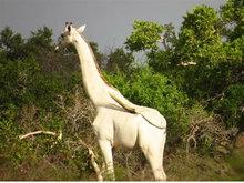 非洲肯尼亚发现一只罕见的纯白长颈鹿