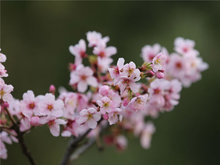 又到了杏樹開花的季節了杏花芳香迷人
