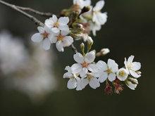 春天梨花開了雪白迷人讓人忍不住贊美一番