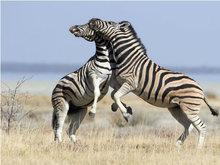 纳米比亚斑马打架咧嘴露牙展凶猛一面