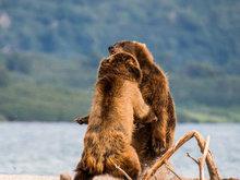 战斗民族棕熊因食物扭打 场面惊心动魄