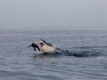 摄影师拍摄南非海豹鲨口逃生惊险瞬间