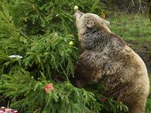 英动物园迎圣诞 可爱棕熊兴奋拆礼物