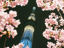 日本晴空塔下樱花绽放 缤纷烂漫惹人醉