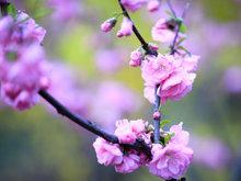 榆葉梅高清攝影圖片 賞花正當時