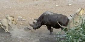 怀孕犀牛被困水坑 奋力击退三只饿狮
