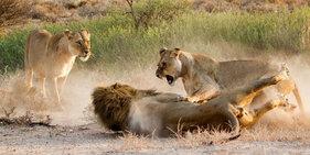 """母狮目击""""男友""""与情敌调情后教训雄狮"""