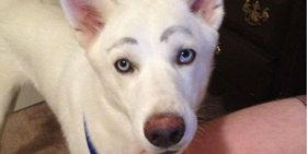 爆笑恶搞!假如狗狗有眉毛