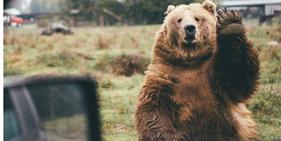 摄影师捕捉棕熊挥爪再见瞬间 呆萌十足