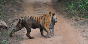 印尼母老虎丛林中捕食豹子 场面惊险