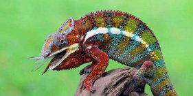 印尼变色龙捕杀蜻蜓 展惊人长舌功