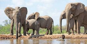 摄影师藏进大象饮水坑与象群近距离接触