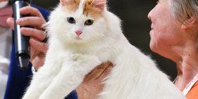 莫斯科办猫展  奇特无毛猫夺人眼球