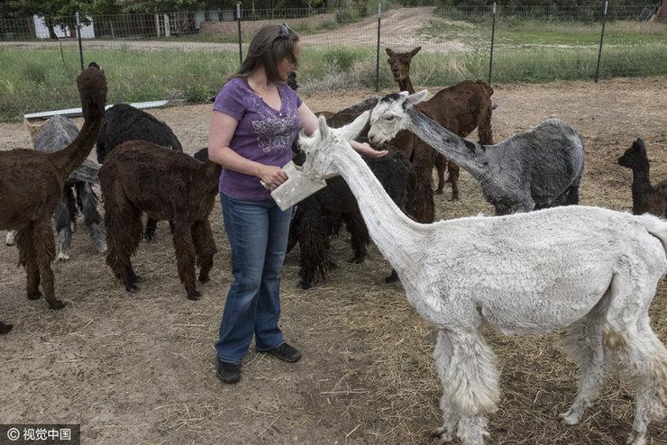 美国女子养羊驼晒亲密照变
