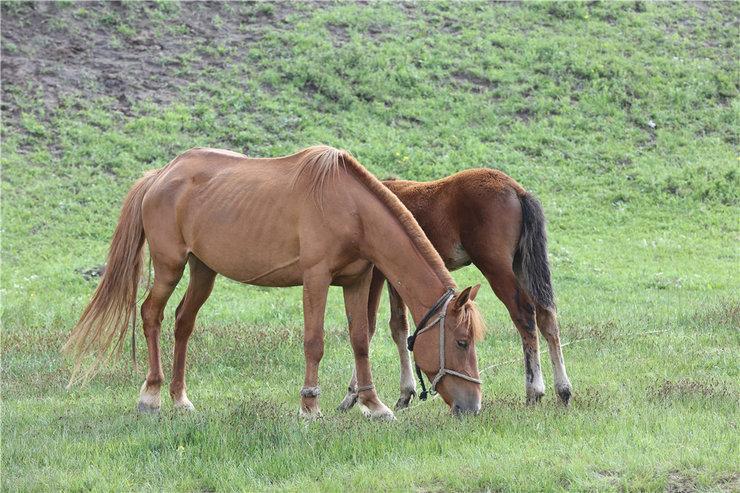 拍摄美丽大草原的骏马吃草