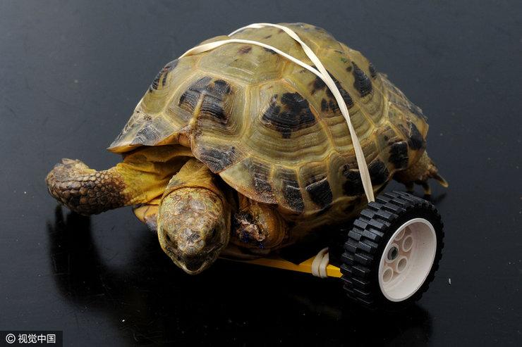 英乌龟被狗咬残 用乐高玩具轮获新生