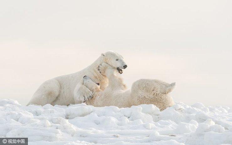 雄性北极熊为迎交配季提前