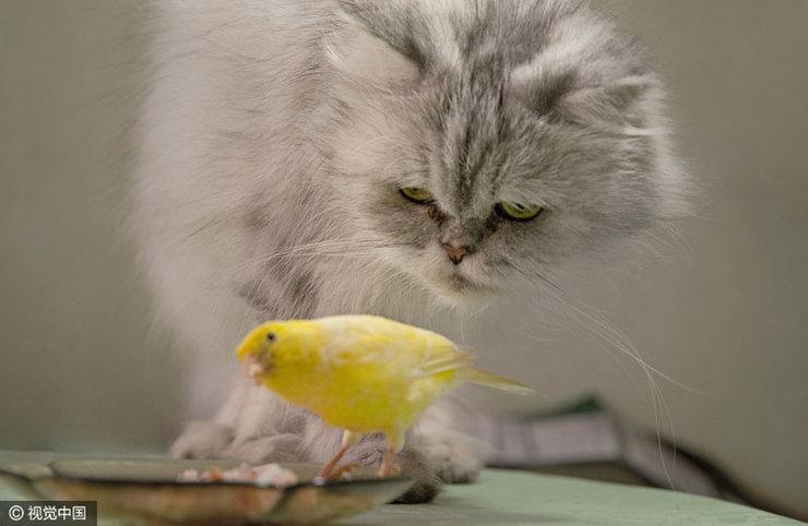 保加利亚波斯猫与金丝雀交友 形影不离