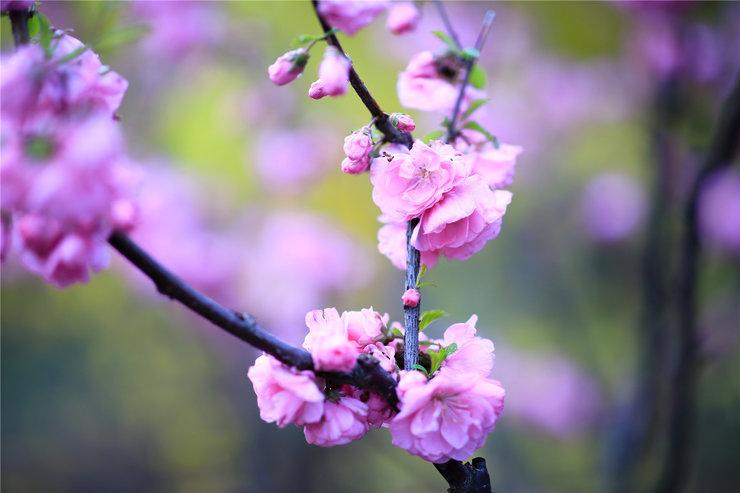 榆叶梅高清摄影图片 赏花正当时